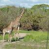 Giraffen Show Selous NatlPark (023)