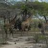 Giraffen Show Selous NatlPark (07)