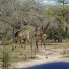 Giraffen Show Selous NatlPark (04)