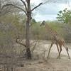 Giraffen Show Selous NatlPark (03)