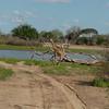 Giraffen Show Selous NatlPark (021)