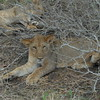 Lions Siesta Selous NatlPark (15)