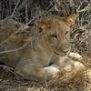 Lions Siesta Selous NatlPark (20)