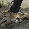 Lions Siesta Selous NatlPark (05)