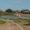 Giraffen Show Selous NatlPark (018)