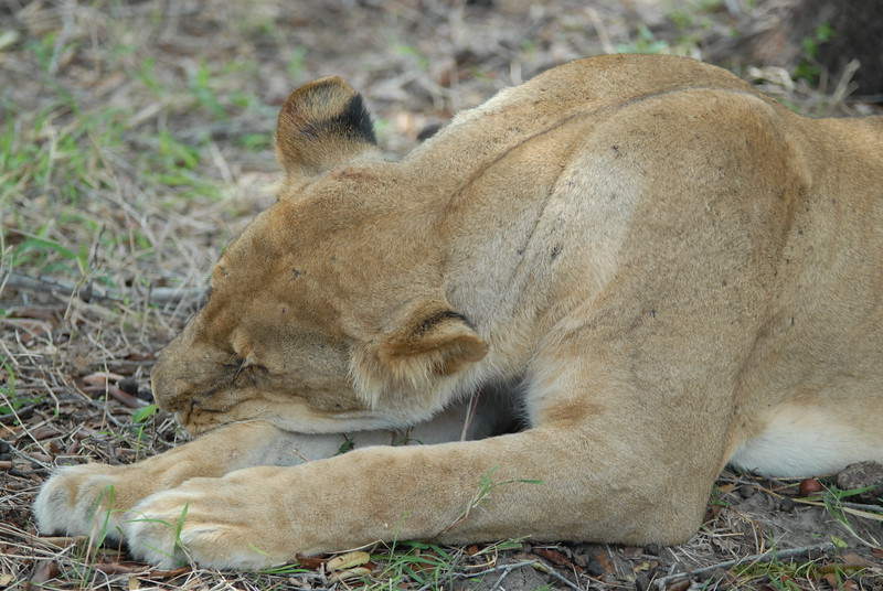 Lions Siesta Selous NatlPark (09)