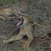 Lions Siesta Selous NatlPark (17)