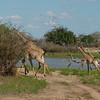 Giraffen Show Selous NatlPark (015)