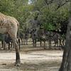 Giraffen Show Selous NatlPark (09)