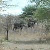 Buffalos Selous NatlPark (01)