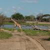 Giraffen Show Selous NatlPark (016)