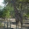 Giraffen Show Selous NatlPark (027)