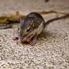 Merriam's Kangaroo Rat Tucson, AZ