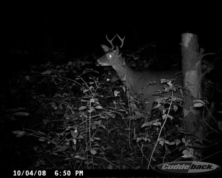 Whitetail Buck*G4