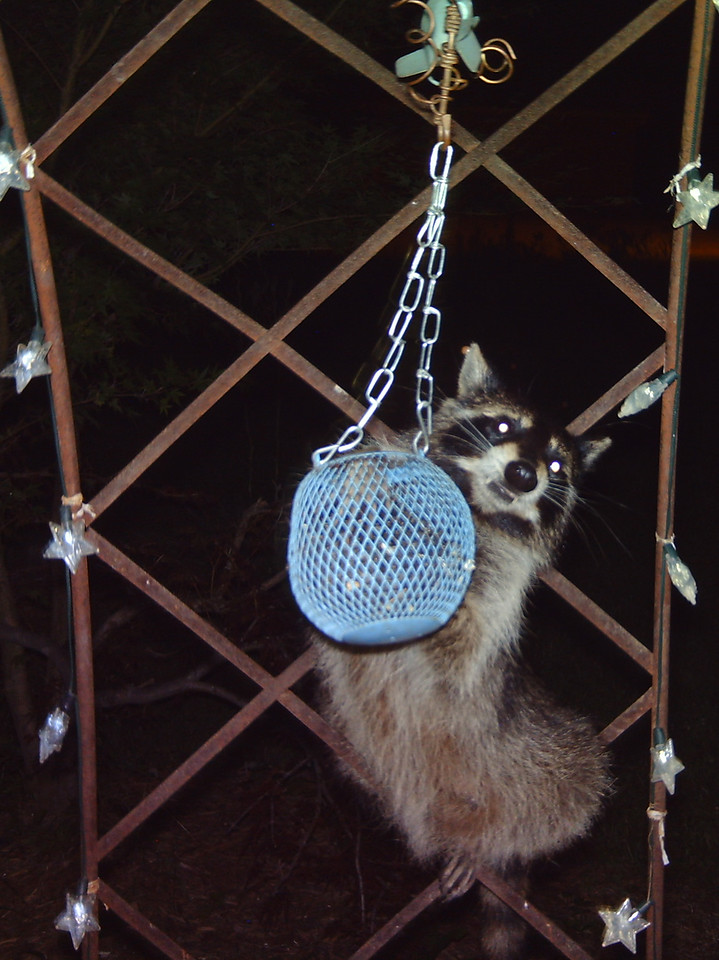 One of the raccoons that have been helping themselves to the sunflower seeds every night.<br /> The globe that holds the sunflower seeds is hanging from an old arbor with solar powered lights on it.