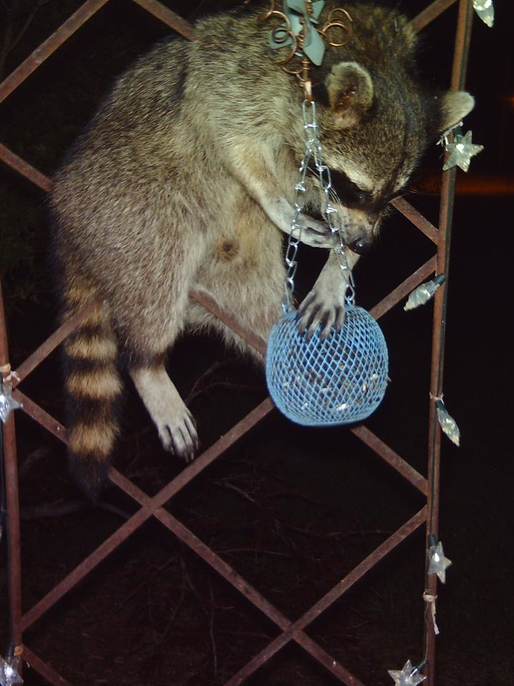 A few nights ago, it was a mother raccoon and her three babies that ate the sunflower seeds.