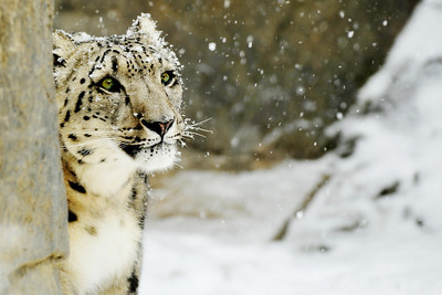 2011 Snow Leopards