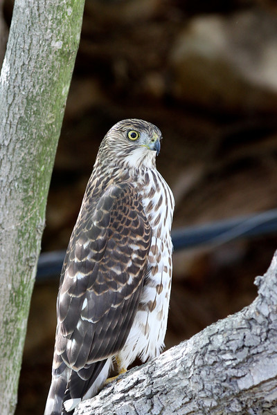 2011.10.30 Backyard Hawk