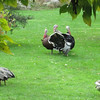 turkeys - one starting to show its tail feathers