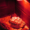 tortoises under a heat lamp in a stall
