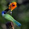 Green Jay and Altamira Oriole