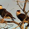 Crested Caracara, along Hwy 77, south Texas