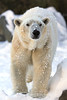 Non-Exclusive<br /> 2013 Feb 09 - Polar bear at the Bronx Zoo one day after snowstorm Nemo in NYC. Photo Credit Jackson Lee