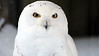 Non-Exclusive<br /> 2013 Feb 09 - Snowy Owl at the Bronx Zoo one day after snowstorm Nemo in NYC. Photo Credit Jackson Lee