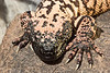 Gila Monsters have a good set of claws