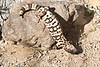 Gila Monster - pretty agile on rocks for having short little legs