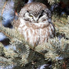 Boreal Owl - Twin Rivers Minn
