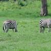 Zebras_Arusha_National-Park_080420130003