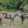 Zebras_Lake_ Manyara_National-Park_10042013_010