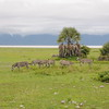 Zebras_Tarangire_National-Park_09042013_007