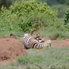 Zebras_Lake_ Manyara_National-Park_10042013_006