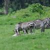 Zebras_Arusha_National-Park_080420130002