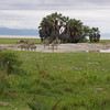 Zebras_Tarangire_National-Park_09042013_032