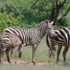Zebras_Lake_ Manyara_National-Park_10042013_008
