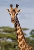 Giraffe7635