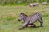 Zebra scratching belly