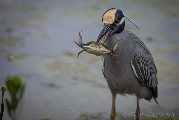 Yellow Crowned Night Heron vs Crab