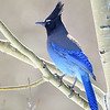 Steller's Jay, nothern Colorado