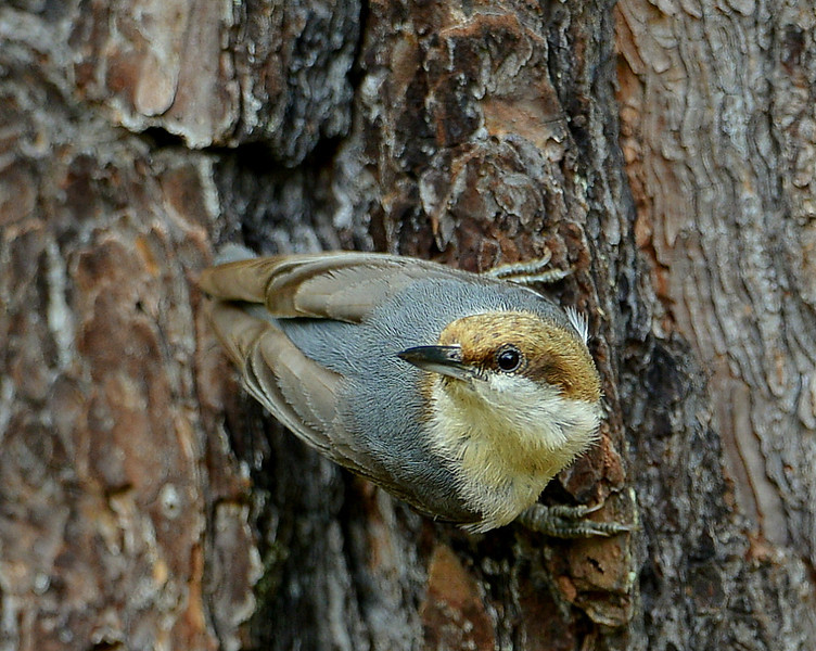 Brown-headed Nuthatch, Chapel, NC