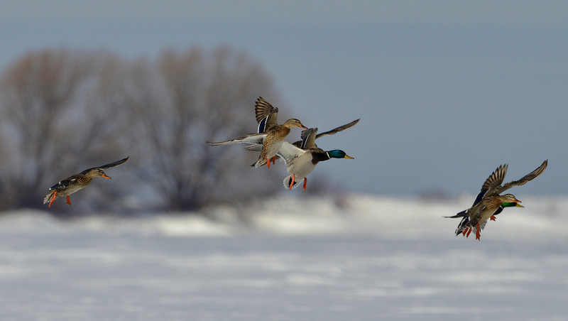 Mallards landing on the frozen lake. Near Collingwood, Canada.
