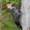 Pileated Woodpecker, female, Salerno Lake, Canada