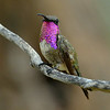 Lucifer Hummingbird, male, Ash Canyon B&B, Hereford, AZ
