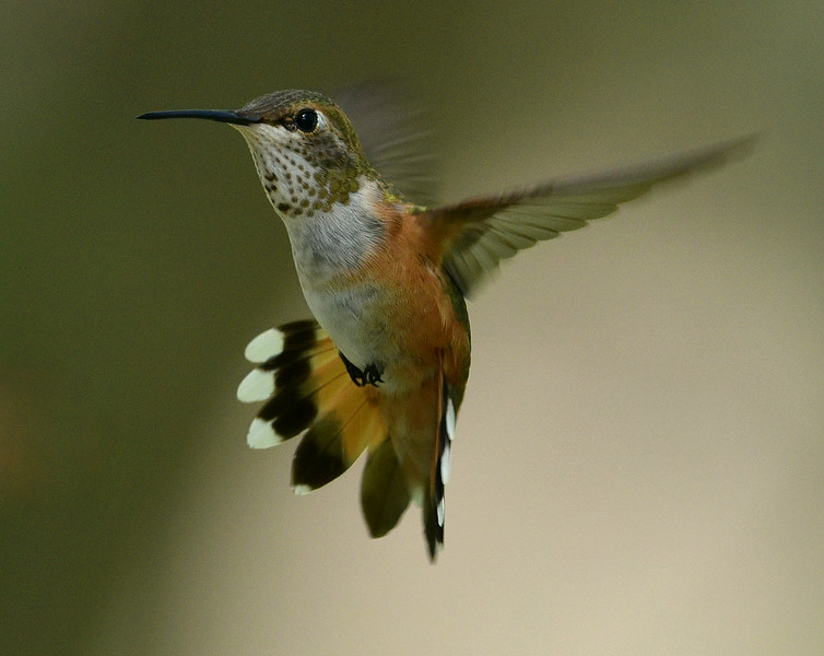 Rufous Hummingbird, immature male or female, Miller Canyon, AZ