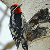 Red-napped Sapsucker