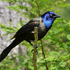 Common Grackle, Salerno Lake, Canada