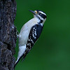 Downy Woodpecker, female, Chapel, NC